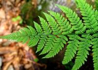 Растения - природные фракталы - папоротник